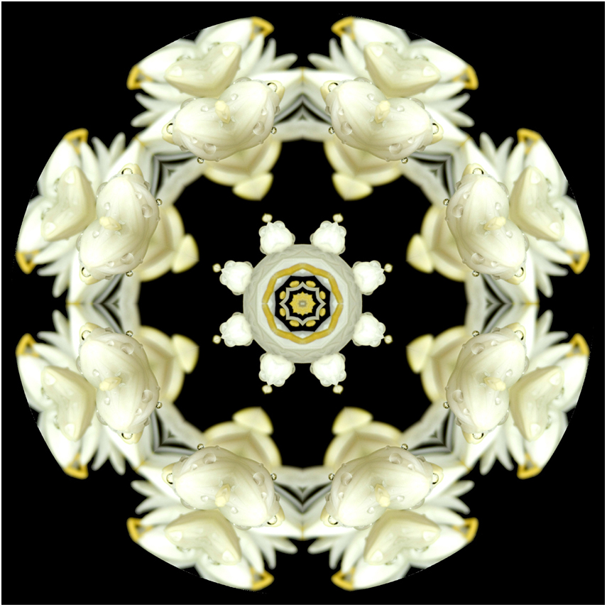 agapantha flower mandala art, new zealand, Susan Cleaver, Artist, mozaics, mandalas, collage, stock photos, digital art and more, experiencing the visual element of nature through photography